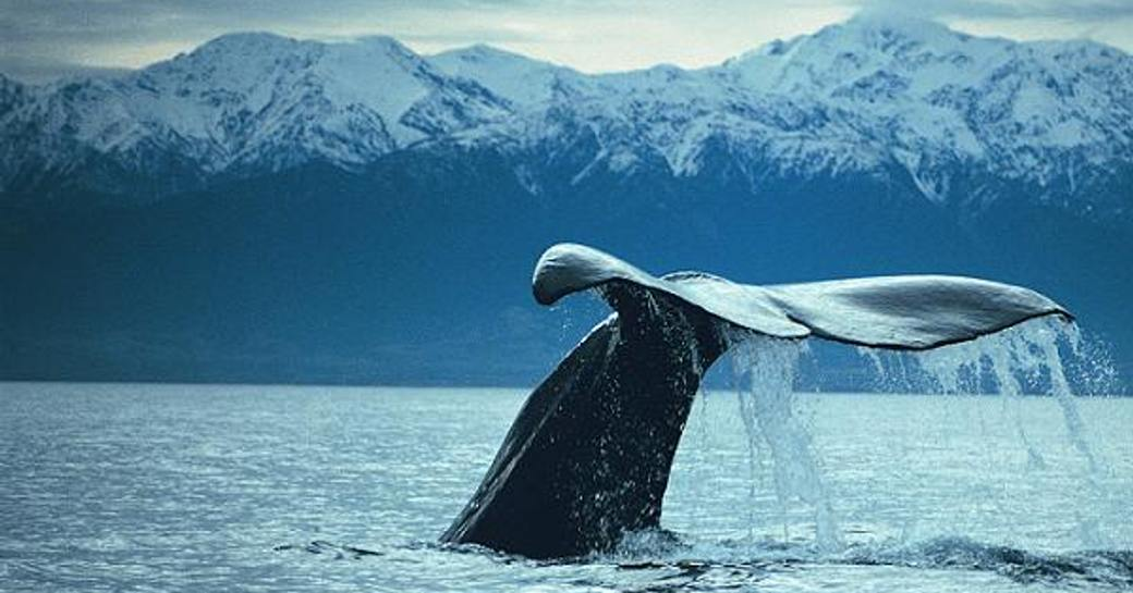 Diving whale off of New Zealand whilst whale watching