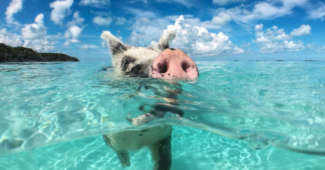 pig swimming in shallow blue sea of the exumas close to big major cay, a popular yacht charter destination