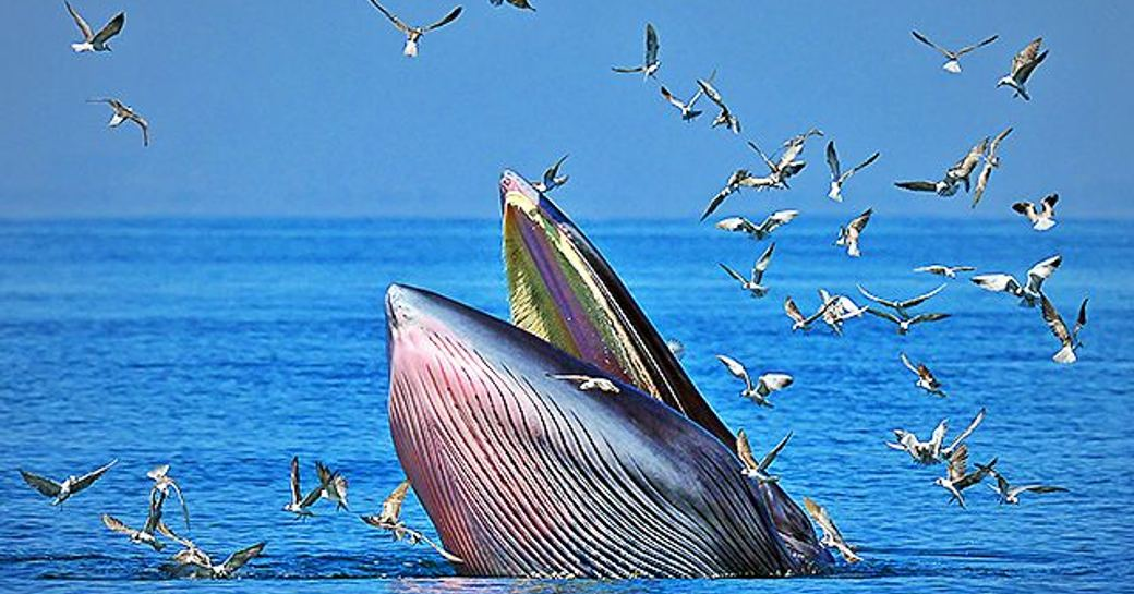 Bryde Whale eating in New Zealand at water's surface