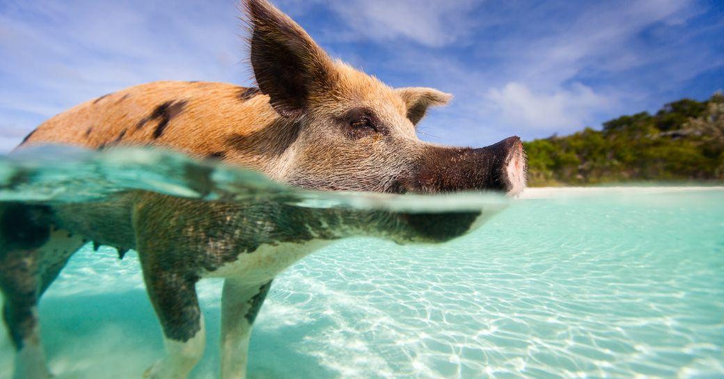 pig swimming in waters, the Exumas, Bahamas