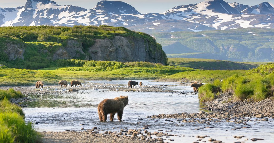 bears in the shallow waters of alaska