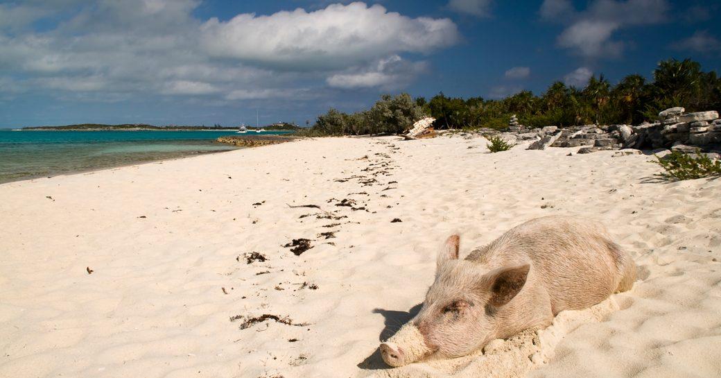 pig sleeping on beach in bahamas