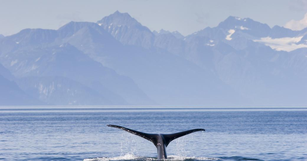 discover Alaska's whales whilst chartering superyacht TALOS