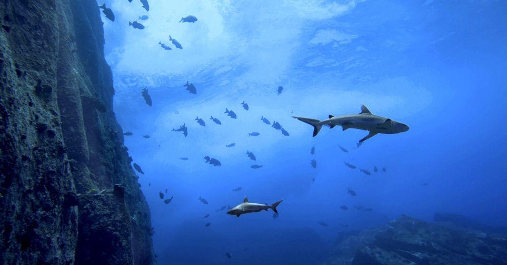 Seychelles sharks