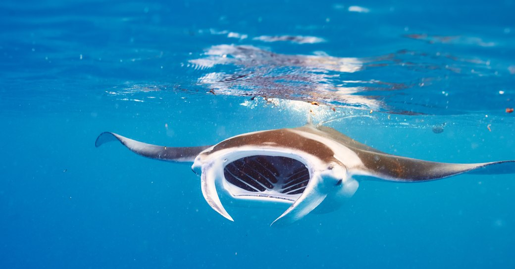manta ray swimming close to the surface in the maldives