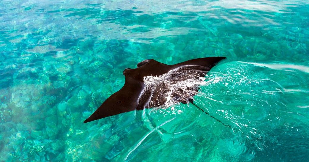 Manta ray at Manta point Komodo islands