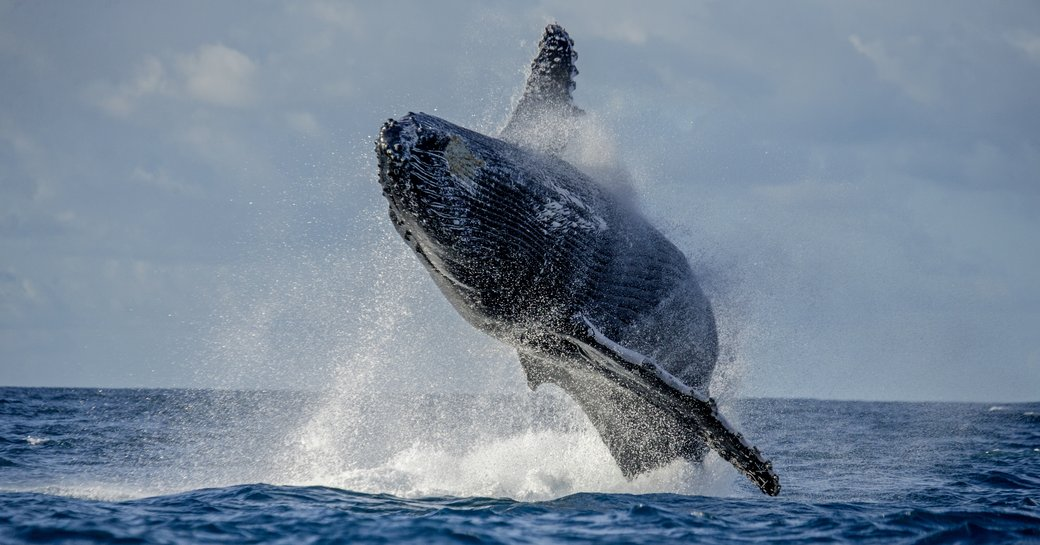 A whale caught in midair after projecting itself from below the waterline