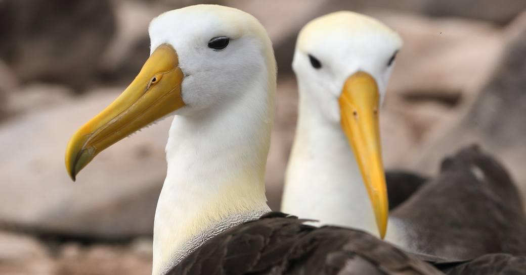 A pair of Waved Albatrosses on Espanola Island, Galapagos