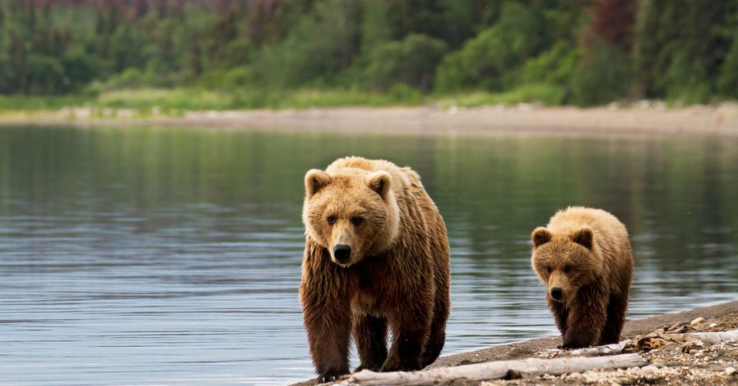 two bears walk along the river in alaska, with pine forest in background