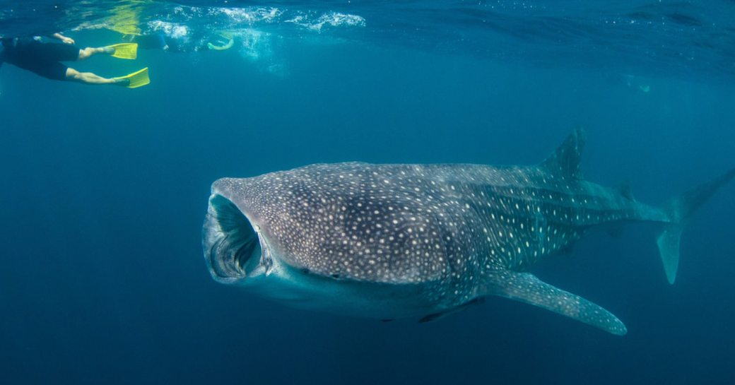 whale shark underwater with is mouth open, with scuba diver near surface of the sea