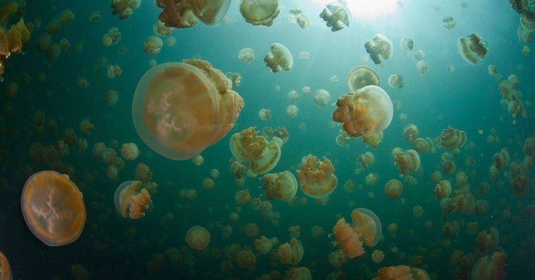 Endemic golden jellyfish