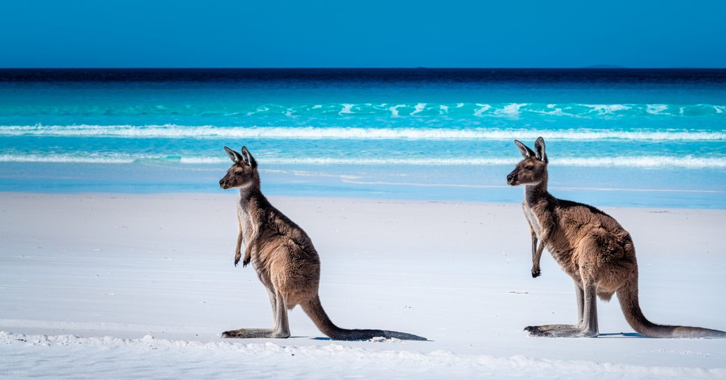 Two kangaroos on Hamilton Island, Australia