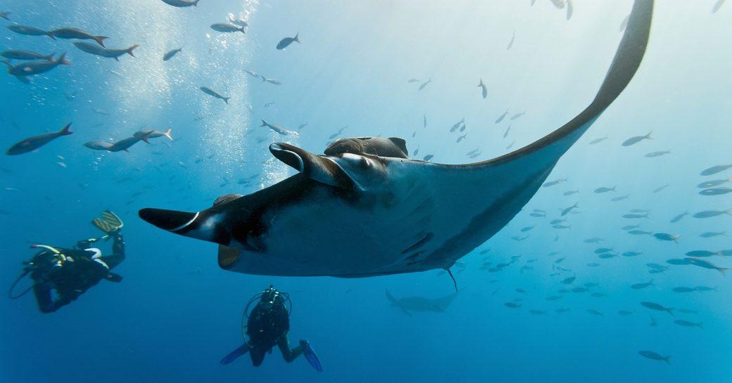 scuba divers swim alongside a manta ray in the water in Komodo