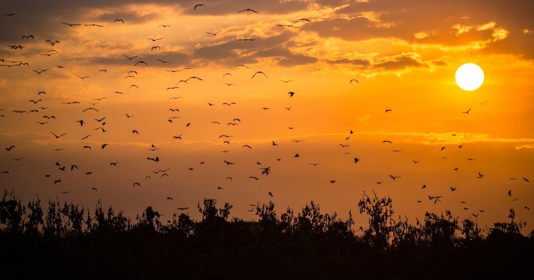 fruit bats awake from mangrove trees of Palau Kalong