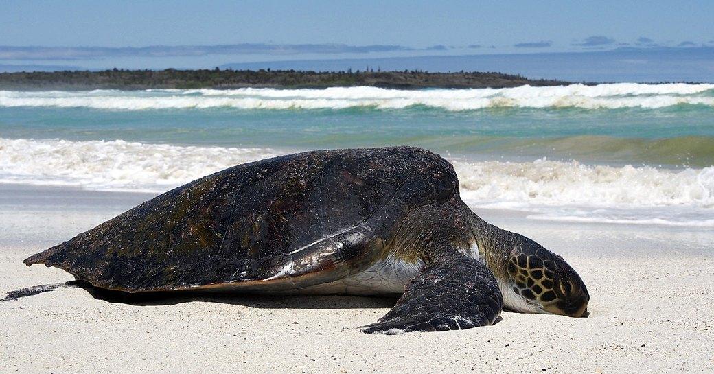 A green sea turtle on Tortuga Bay, Galapagos