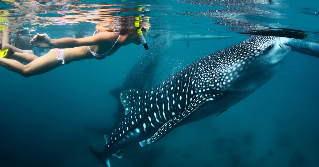 girl in bikini with scuba gear swims with a whale shark, both are close to the surface and a second whale shark can be seen in the background