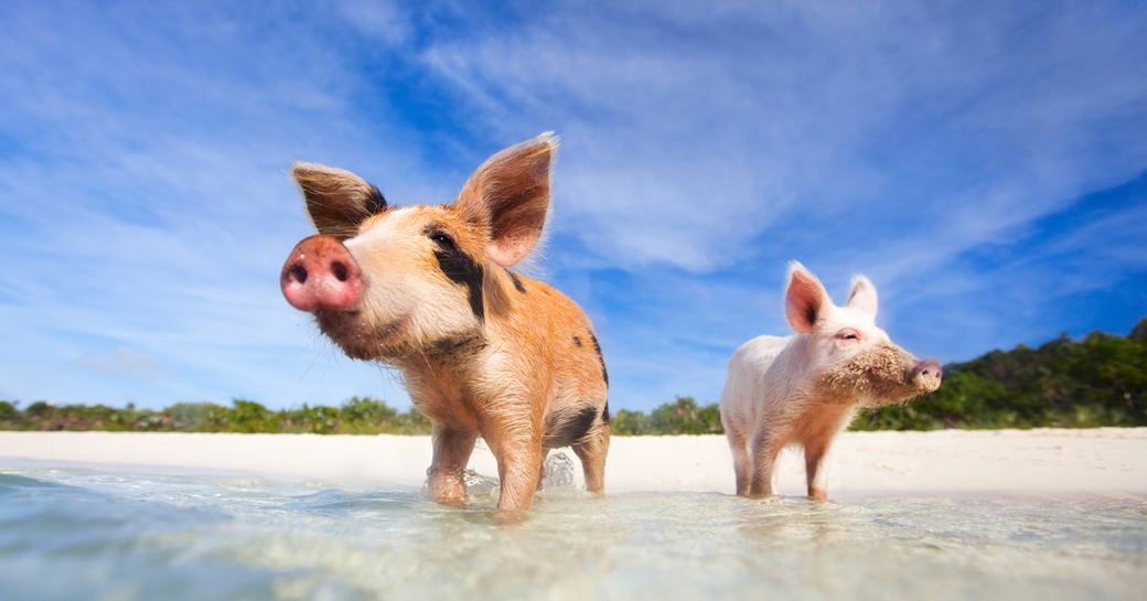two swimming pigs on Big Major Cay in the Exumas, Bahamas