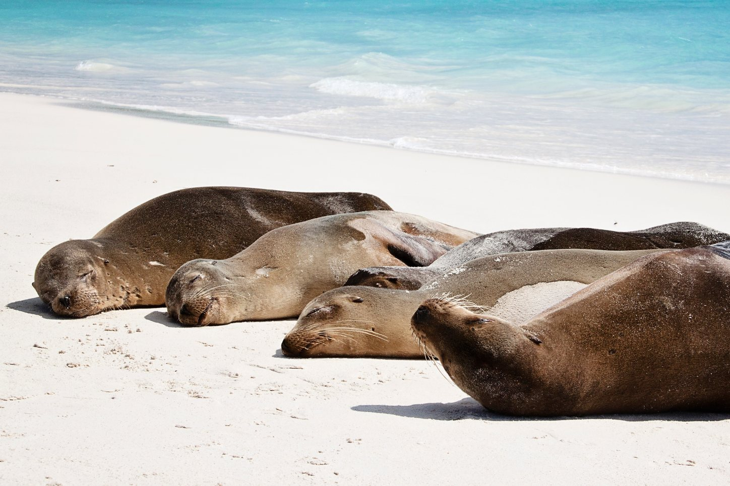 Seals lie on the beach in the Galapagos Island