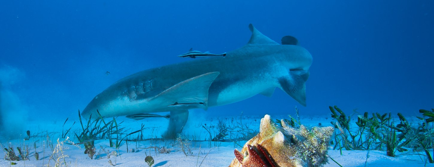 The nurse sharks of Compass Cay Image 6
