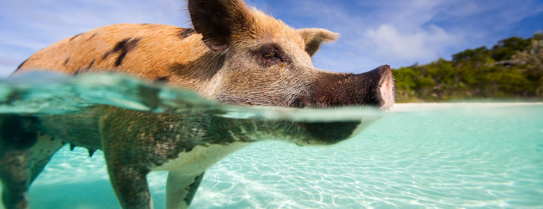 Pig Beach Image 5