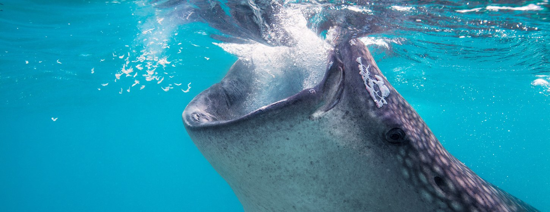 The whale shark pod of Thanda Island Image 5