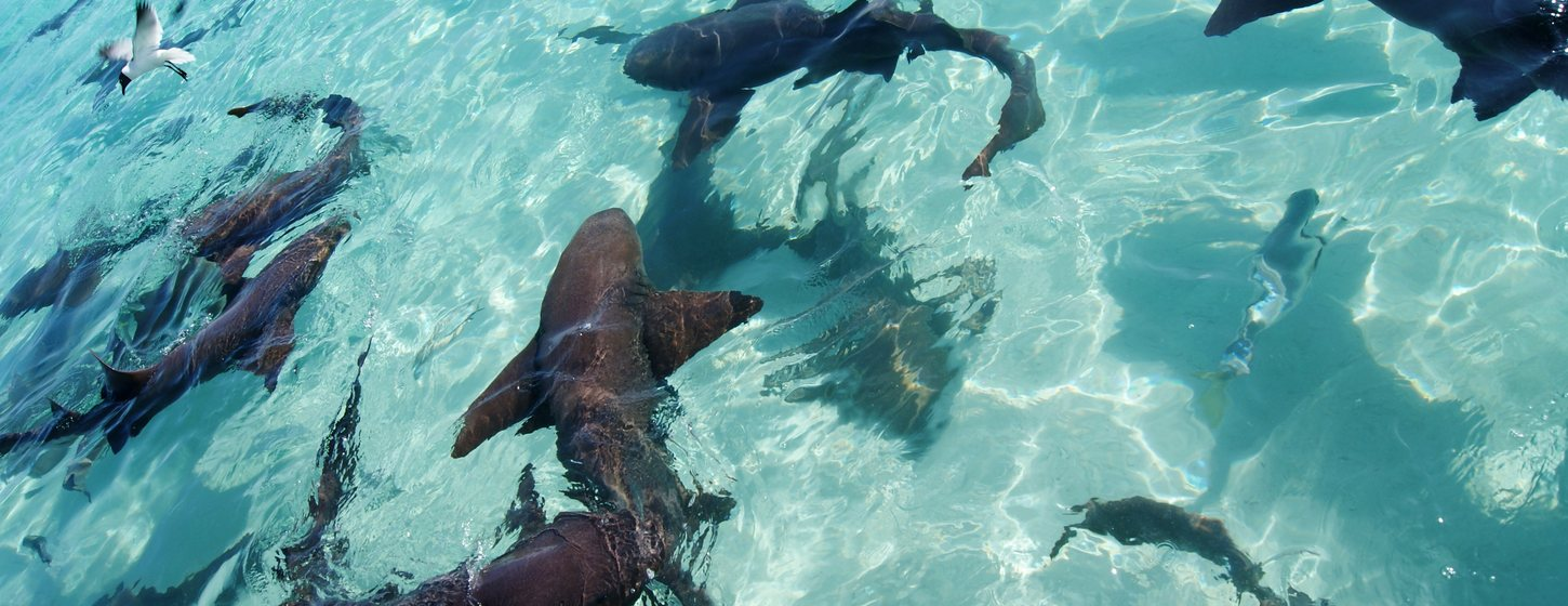 The nurse sharks of Compass Cay Image 4
