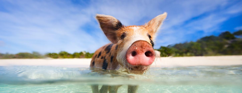 Pig Beach Image 7