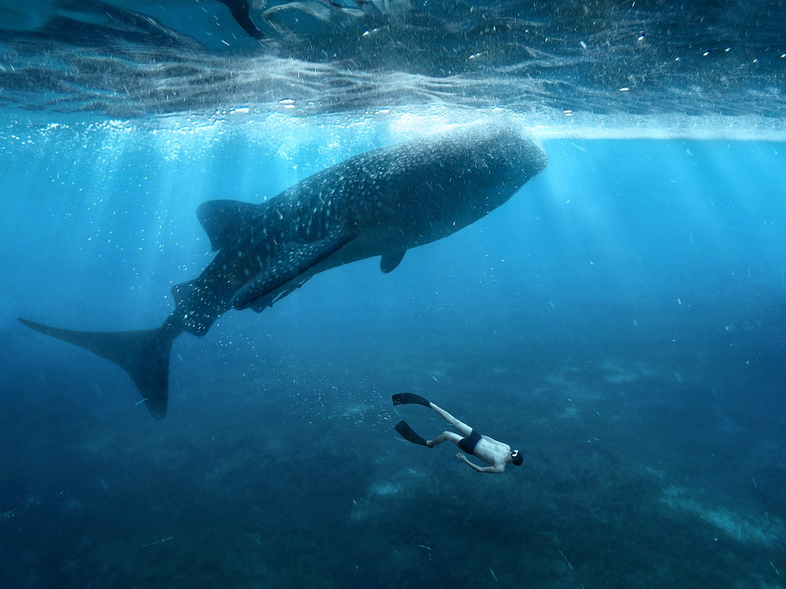 Swimming with whale sharks Image 4