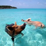 """<p> Exuma is renowned for visits from celebrities like Johnny Depp and Nicholas Cage but one of the famous, permanent residents of the cays are the adorable pigs who love nothing more but to swim in the tropical waters here. The group of pigs inhabit the shallow waters of their own Pig Beach,&#39; found in the south of Big Major Cay can be unexpected bonus for any Bahamas yacht charter vacation.&nbsp;</p> <p> Families of brown and pink boars and piglets live freely, relaxing on Exuma&#39;s pristine white beach or taking a dip in the sea. So friendly are the pigs that they rush to swim out to greet any approaching boats to the cay. A&nbsp;<a href=""""/caribbean/caribbean-luxury-yachting-guide-1.htm"""">Caribbean</a> charter itinerary for the family could be especially memorable for seeing these little guys!&nbsp;</p>"""