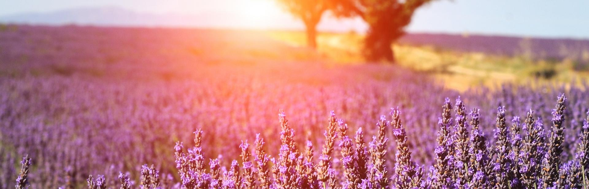 Smell the iconic lavender fields