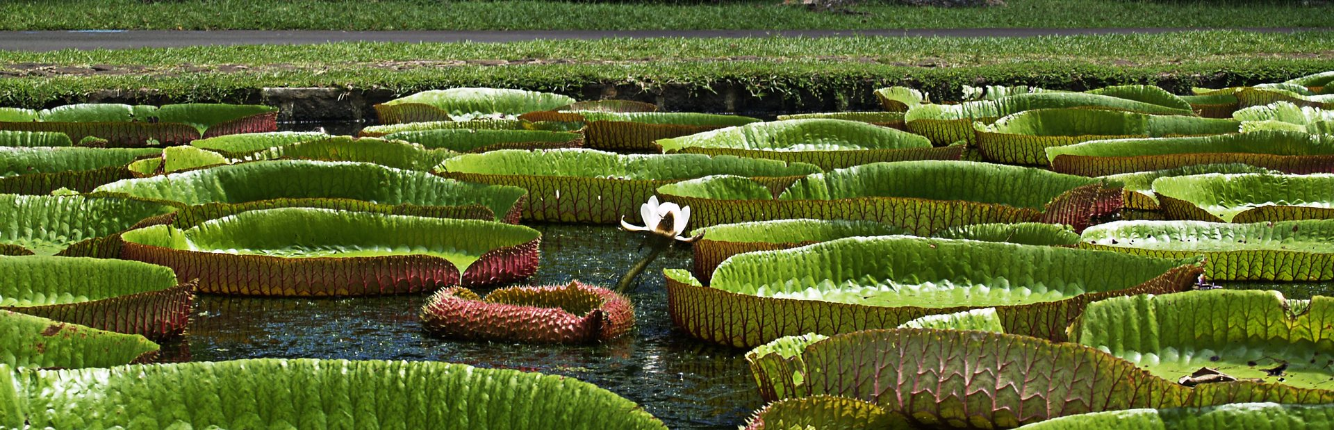 Giant water lilies