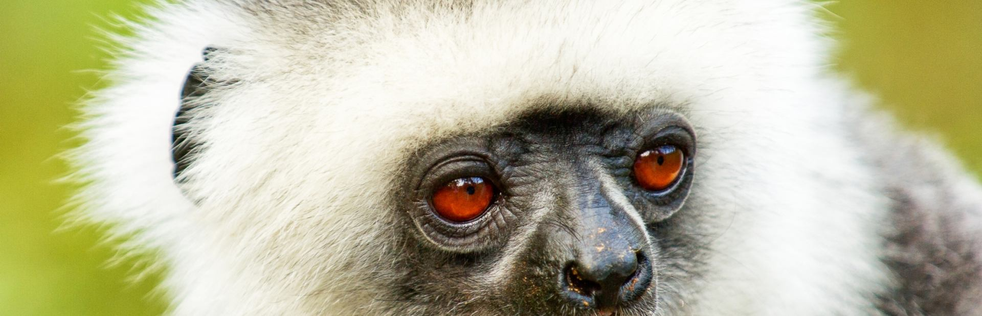 Cute red-eyed lemur