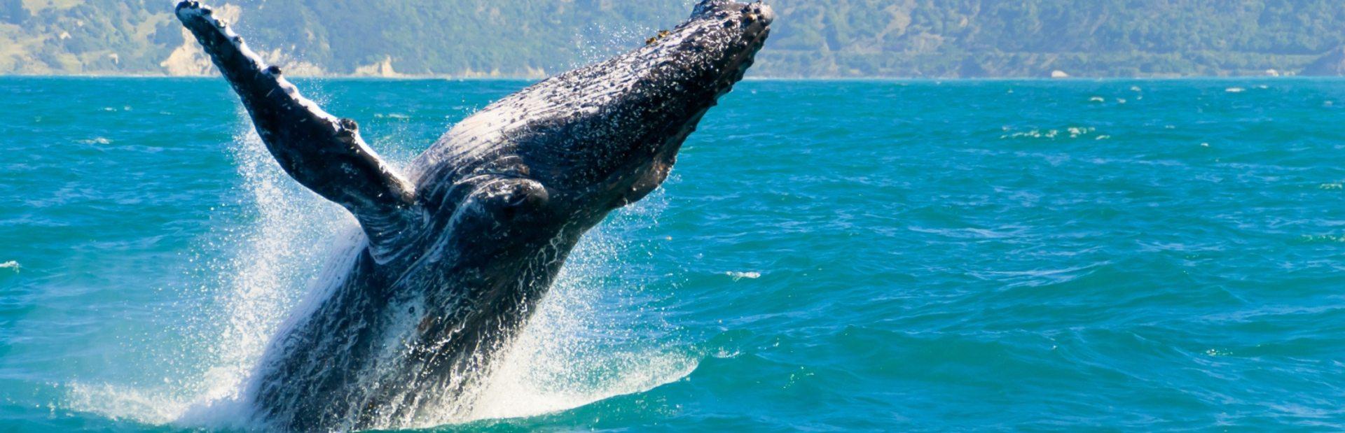 Encounter the Gentle Giants of the Pacific Ocean