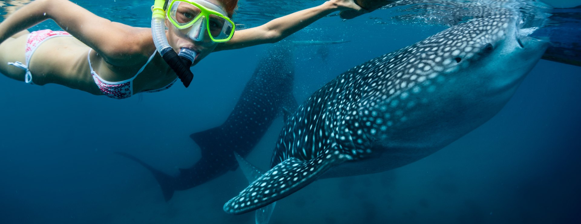 The whale shark pod of Thanda Island Image 1