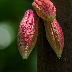 Pink cocoa pods