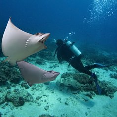 Diver between Spotted Eagle-rays
