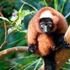 Red Vari Lemur Gazing