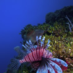 A colourful lionfish darting around coral reef