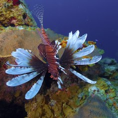 Lionfish on the coral reef in Cuba
