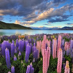 Admire the Lupins at Lake Tekapo on a New Zealand Luxury Yacht Charter