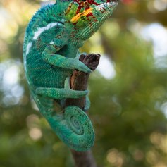 Chameleon trying to blend into the background colour