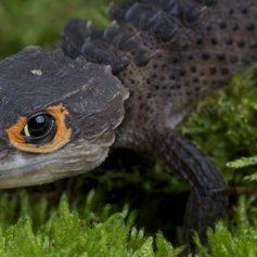 Orange-eyed crocodile skink