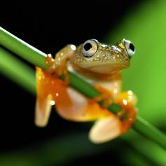 Small frog with big eyes on stalk
