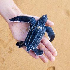 Sea-turtle on the human hand on the beach