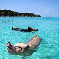 Swimming Bahamian Pigs