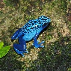 Blue Frog - Dendrobates azureus