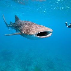 Meet a Gentle Giant on a Dive in the Maldives
