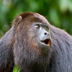 A howler monkey in Belize