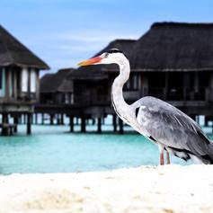 Meet the Maldives Birdlife