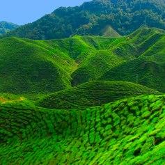 Beautiful tea plantation area